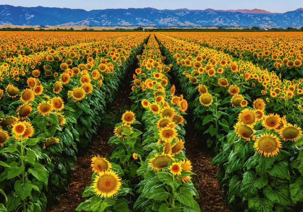 Sestavljanka sončnice, zlato polje 152889 1