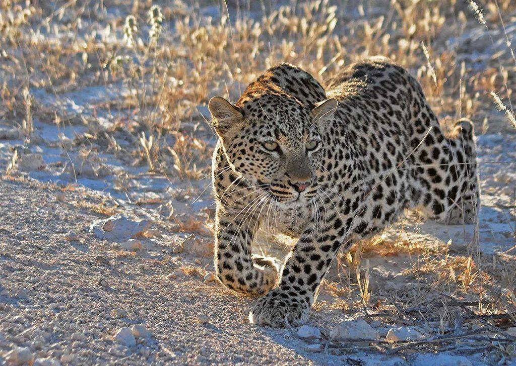 ravensburger leopard puzzle 1